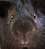 Funny brown cavy closel-up — Stock Photo
