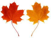 Leaves maple — Stock Photo