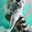 Lemur on a tree - Stock Photo