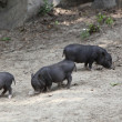 Wild pigs - Stock Photo