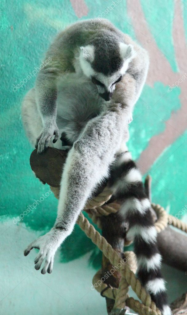 Lemur sitting on a tree — Photo #12096840
