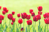 Garden with tulip flowers in summer — Stock Photo