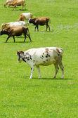 Коров, пасущихся на зеленом поле — Стоковое фото