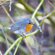 Stock Photo: Songbird robin sitting on branch