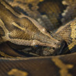 Stock Photo: Angolan python (Python anchietae) — Stock Photo