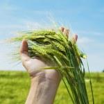 Ears of ripe wheat against the dark blue sky — Stock Photo