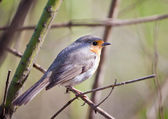Songbird robin — Stock Photo