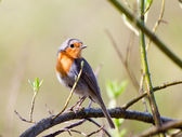 Songbird robin sitting on a branch — Stock Photo