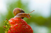 Garden snail creeps on a berry of a ripe strawberry. — Stock Photo