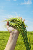 Ears of ripe wheat against the dark blue sky — Stock Photo