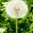 White dandelion — Stock Photo #11542657