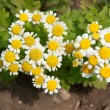 White daisy — Stock Photo #11542793