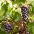 Grapes — Stock Photo #11542833