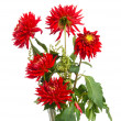 Red dahlias — Stock Photo #12015725