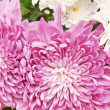 Chrysanthemum — Stock Photo #12015831