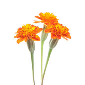 Three tagetes — Stock Photo