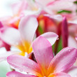 Frangipani flowers — Stock Photo #11191933