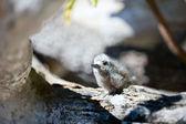 White tern baby — Stock Photo