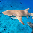 Stock Photo: Lemon sharks