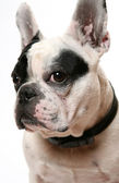 The French bulldog — Stock Photo