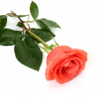 Fine rose — Stock Photo