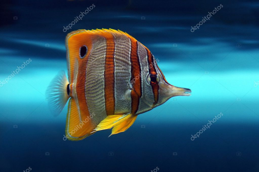 Tropical fish — Stock Photo #10947559