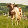 Lovely brown and white cow grazing in a beautiful green meadow — Stock Photo