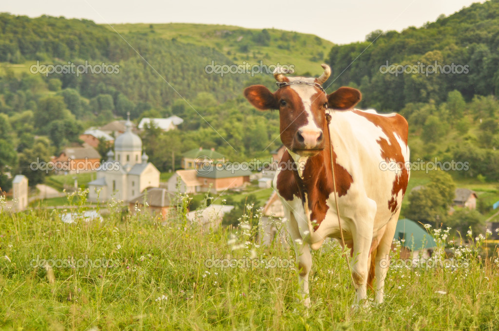 Lovely brown and white cow grazing in a beautiful green meadow — Stock Photo #11422079