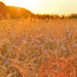 Barley on a great summer sunset background — Stock Photo #11567559