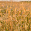 Barley on a great summer sunset background — Stock Photo #11567620