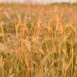 Stock Photo: Barley on a great summer sunset background