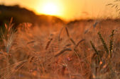 Barley on a great summer sunset background — Stock Photo