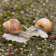 Two snails on mossy rocks — Foto Stock