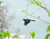 Greater Racket-tailed Drongo — Stock Photo
