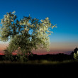Silver leaf tree on sunset — Stock Photo