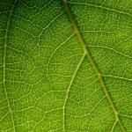 Green leaf macro — Stock Photo