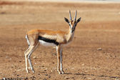 A graceful Gazelle Thomson with striped horns — Stock Photo