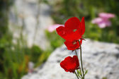 Bright red field flowers between stones — Stock Photo