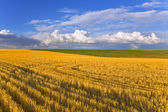 Huge field after harvesting — Stock Photo