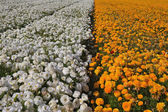 Huge field of buttercups — Stock Photo