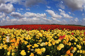 The field of yellow and red buttercups — Stock Photo