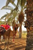 En kamel i en röd kropp trasa — Stockfoto