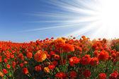 Die roten und weißen butterblumen — Stockfoto