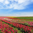 Stock Photo: Vast fields of red flowers Ranunculus