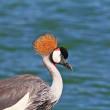 oiseau élégant avec une crête sur la tête — Photo