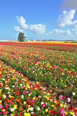Boundless field sown with flowers — Stock Photo