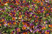 "Field flowers ""pansies"" — ストック写真"