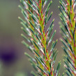 Pine branch on green background — Stock Photo