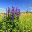 Blue lupines on summer field — Stock Photo #11533704
