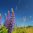 Blue lupines on blue background - Stock Photo
